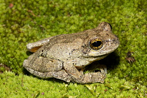 Cope's gray tree frog (Hyla chrysoscelis) West Florida, USA, August. - Barry Mansell