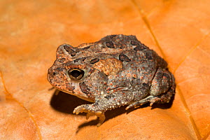 Fowler's toad (Anaxyrus fowleri) Florida, USA, August.  Controlled conditions. - Barry Mansell