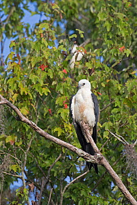 Swallow-tailed kite (Elanoides forficatus) Central Florida,USA, July. - Barry Mansell