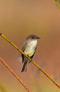 Eastern phoebe (Sayornis phoeba) North Florida, USA, October. - Barry Mansell