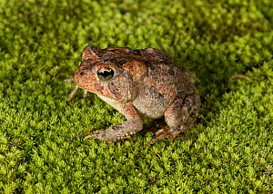 Fowler's toad (Anaxyrus fowleri) Florida, USA. Controlled animal - Barry Mansell