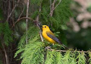 Prothonotary warbler (Protonotaria citrea) male, Florida,USA - Barry Mansell
