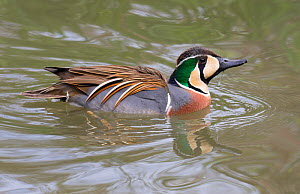 Baikal teal (Anas formosa) male, captive. - Barry Mansell