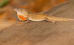 Brown anole (Anolis sagrei) displaying dewlap, North Florida,USA, July. Introduced species. - Barry Mansell