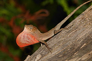 Red-fanned Stout anole (Anolis marcanoi) displaying its red dewlap, Cordillera Central, Dominican Republic.  -  Eladio Fernandez