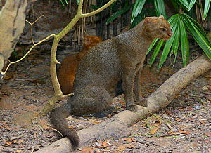 Jaguarundi (Puma yagouaroundi) female with  her red colour morph kitten behind, captive, occur in the Americas from Arizona to Argentina. Red individuals of this species were once thought to be a sepa...  -  Daniel  Heuclin