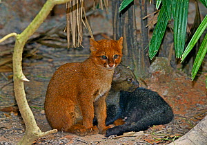 Jaguarundi (Puma yagouaroundi) two kittens, one red colour morph, captive, occur in the Americas from Arizona to Argentina. Red individuals of this species were once thought to be a separate species c...  -  Daniel  Heuclin