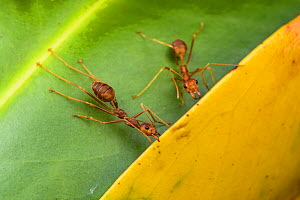 Weaver ants (Oecophylla smaragdina) holding leaves together during nest building, Malaysian Borneo. - Emanuele Biggi