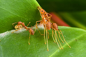 Weaver ant (Oecophylla smaragdina), two workers holding leaf  while another one is weaving them by the use of a larva to glue the leaves using silk.  Kota Kinabalu Wetlands, Sabah, Malaysian Borneo.  -  Emanuele Biggi