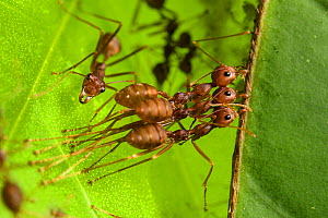Weaver ant (Oecophylla smaragdina), two workers holding leaf to build the leaf nest typical of this species while another one is weaving them by the use of a larva to glue the leaves using silk. Kota...  -  Emanuele Biggi