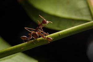 Weaver ants  (Oecophylla smaragdina) two minor workers with major worker, minor workers removing a dead major worker out of the nest. Sandakan, Sabah, Malaysian Borneo.  -  Emanuele Biggi