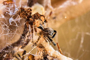 Dandy jumping spider  (Portia schultzi)  eating a spider (Stegodyphus dumicola) with spiderling (Archaeodictyna ulova) scavenging  Kwazulu-Natal, South Africa - Emanuele Biggi