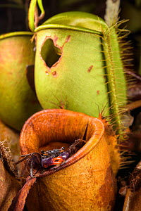 Land crab (Geosesarma sp.) which raids Pitcher plant (Nepenthes ampullaria) for prey, Sarawak. Borneo.  -  Emanuele Biggi