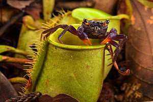 Land crab (Geosesarma sp.) which raids Pitcher plant (Nepenthes ampullaria) for prey, Sarawak, Borneo.  -  Emanuele Biggi