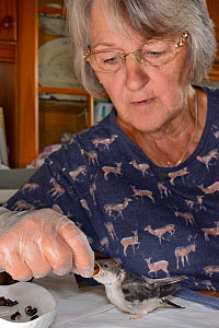 Judith Wakelam hand-feeding an orphaned House martin chick (Delichon urbicum) with insect food in her home, Worlington, Suffolk, UK, July. Model released.  -  Nick Upton