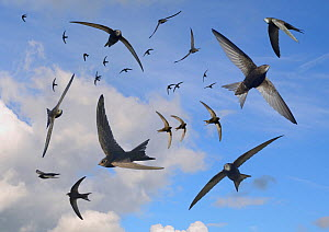 Common swifts (Apus apus) flying overhead, Wiltshire, UK, June.  Digital composite image.  -  Nick Upton