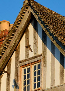 Common swift (Apus apus) flying back to its nest under the roof of an old half-timbered house with several swift nests under it, Lacock, Wiltshire, UK, June. - Nick Upton