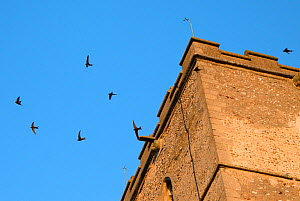 Screaming party of Common swifts (Apus apus) flying around a church bell tower at dusk, where a large colony breeds in nestboxes behind the window louvres, All Saints Church, Worlington, Suffolk, UK,...  -  Nick Upton