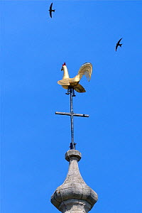 Common swift (Apus apus) two flying over the weathercock on the spire of Holy Trinity Church, Bradford-on-Avon, Wiltshire, UK, June.  -  Nick Upton