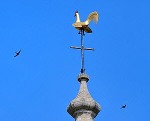 Common swift (Apus apus) two flying past the weathercock on the spire of Holy Trinity Church, Bradford-on-Avon, Wiltshire, UK, June.  -  Nick Upton