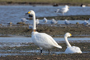 Bewick's swan (Cygnus columbianus) adult pair with one wearing a GPS logging neck collar for satellite tracking of migratory movements, WWT Slimbridge, Gloucestershire, UK, February.  -  Nick Upton
