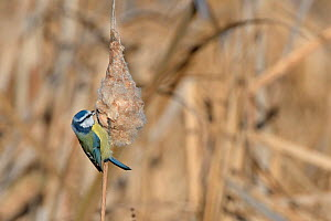 Blue tit (Parus caeruleus) feeding on Bulrush (Typha latifolia) seed head, RSPB Greylake, Somerset, UK, December. - Nick Upton