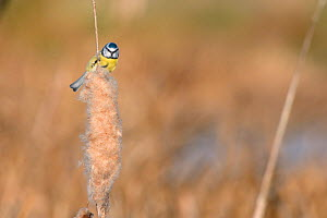 Blue tit (Parus caeruleus) perched on Bulrush (Typha latifolia) stem to feed on seed head, RSPB Greylake, Somerset, UK, December. - Nick Upton