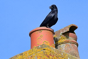 Carrion crow (Corvus monedula) calling from a chimney pot, Cornwall, UK, April. - Nick Upton