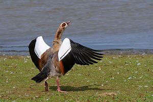 Egyptian goose (Alopochen aegyptiacus) flapping its wings and calling in an aggressive challenge on the margins of Rutland Water reservoir, Rutland, UK, August.  -  Nick Upton