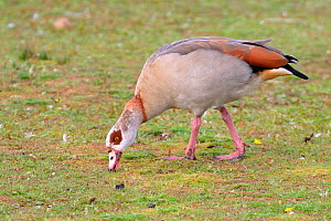 Egyptian goose (Alopochen aegyptiacus) grazing grass on the margins of Rutland Water reservoir, Rutland, UK, August.  -  Nick Upton