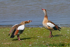 Egyptian goose (Alopochen aegyptiacus) in an aggressive head down challenge to another goose on the margins of Rutland Water reservoir, Rutland, UK, August.  -  Nick Upton