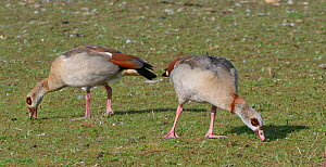 Egyptian goose (Alopochen aegyptiacus) pair grazing grass on the margins of Rutland Water reservoir, Rutland, UK, August.  -  Nick Upton