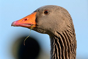 Greylag goose (Anser anser) head close up with grass in its beak after grazing, Gloucestershire, UK, February.  -  Nick Upton