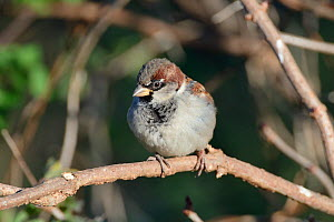 House sparrow (Passer domesticus) male perched in a bush, Somerset, UK, December.  -  Nick Upton