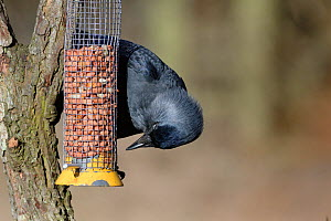 Jackdaw (Corvus monedula) perched on a bird feeder filled with peanuts, Gloucestershire, UK, February. - Nick Upton