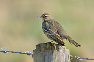 Rock pipit (Anthus petrosus) perched on a fence post in coastal farmland, Cornwall, UK, October.  -  Nick Upton
