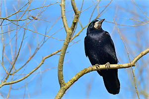 Rook (Corvus frugilegus) perched in a tree, Gloucestershire, UK, February.  -  Nick Upton