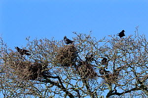 Rooks (Corvus frugilegus) on nests at a rookery high in trees, with one bird calling, Gloucestershire, UK, Fenbruary.  -  Nick Upton