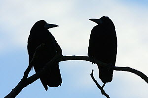 Two Rooks (Corvus frugilegus) silhouetted as they perch on a tree branch at their roost site at sunset, Gloucestershire, UK, February.  -  Nick Upton