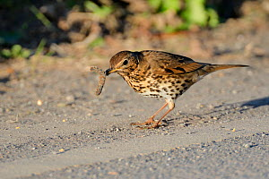 Song thrush (Turdus philomelos) manipulating hairy caterpillar prey on a road side, Cornwall, UK, April.  -  Nick Upton