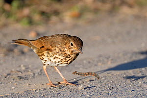 Song thrush (Turdus philomelos) manipulating hairy caterpillar prey on a road side, throwing it down repeatedly before eating it, Cornwall, UK, April.  -  Nick Upton