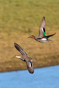 Common teal (Anas crecca) pair in flight over flooded pastureland, Gloucestershire, UK, November. - Nick Upton