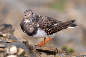 Turnstone (Arenaria interpres) foraging on cliff edge with a Sandhopper (Talitrus saltator) it has caught in its beak, Cornwall, UK, October.  -  Nick Upton