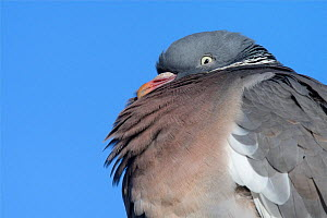 Wood pigeon (Columba palumbus) fluffed up to keep warm on a cold morning, Gloucestershire, UK, February. - Nick Upton