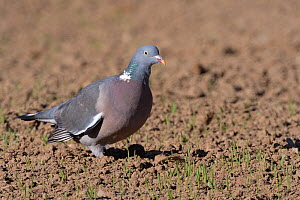Wood pigeon (Columba palumbus) foraging for wheat seeds in a recently drilled field, Cornwall, UK, April.  -  Nick Upton