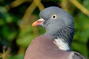 Wood pigeon (Columba palumbus) head close up, Gloucestershire, UK, February.  -  Nick Upton