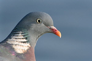 Wood pigeon (Columba palumbus) head close up, Gloucestershire, UK, December.  -  Nick Upton