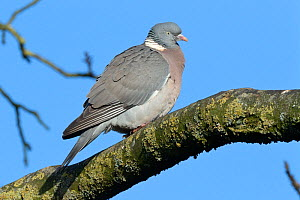 Wood pigeon (Columba palumbus) perched on a tree branch, Gloucestershire, UK, February.  -  Nick Upton