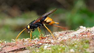 Female Giant wood wasp (Uroceras gigas) inserting ovipositor into tree stump to lay eggs, Carmarthenshire, Wales, UK, September.  -  Dave Bevan