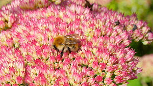 Common carder bumblebee (Bombus pascuorum) nectaring on a sedum flower, Carmarthenshire, Wales, UK, September. - Dave Bevan